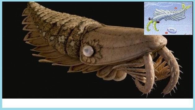Le prédateur des mers du Cambrien : l'anomalocaridide