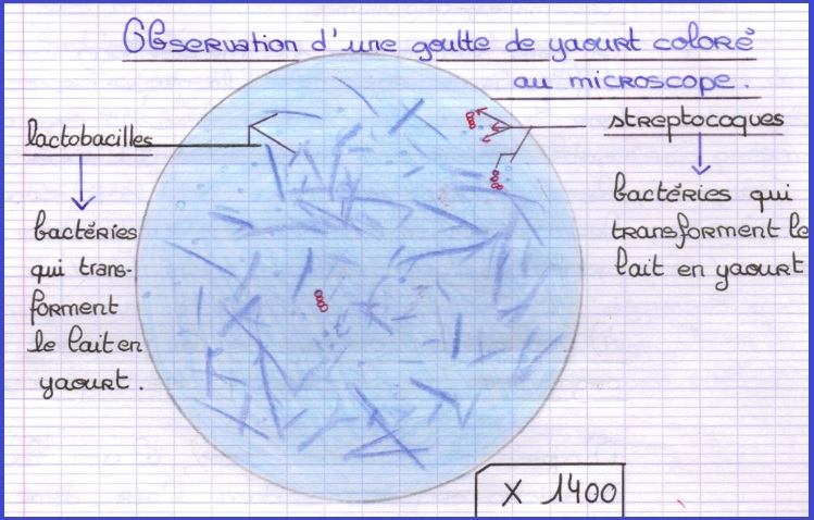 Yaourt bacterie, Hpv na lingua e transmissivel,