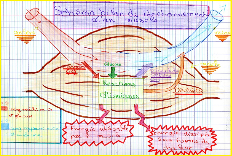 schéma bilan les échanges organes sang SVT besoin des muscles
