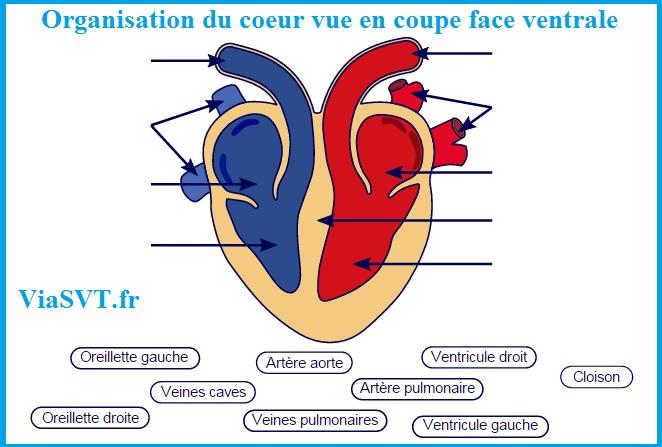 Organisation du coeur vue en coupe face ventrale SVT