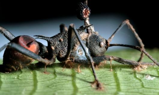La tueuse de fourmis-zombies et son prédateur