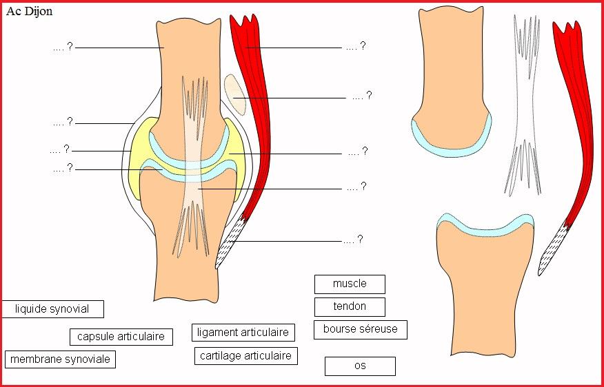 articulation genou ligaments SVT 2nde lycée