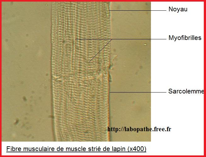 fibre musculaire de muscle strié de lapin SVT 2nde