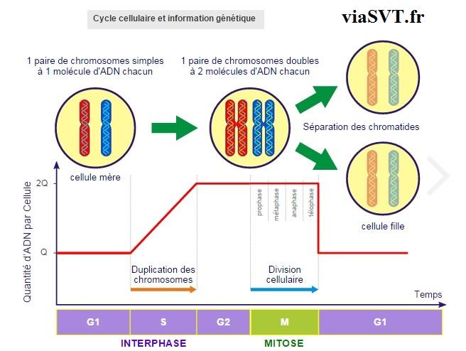 cycle cellulaire et information génétique SVT 1ère S