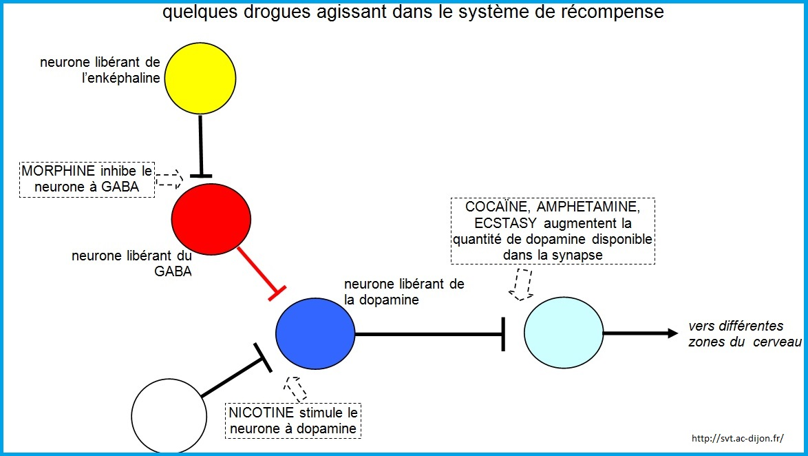 action des drogues système nerveux SVT