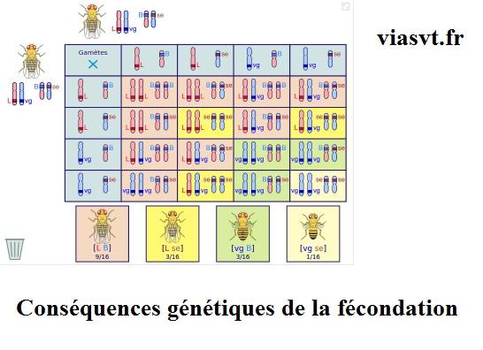 conséquences génétiques fécondation SVT bac S terminale