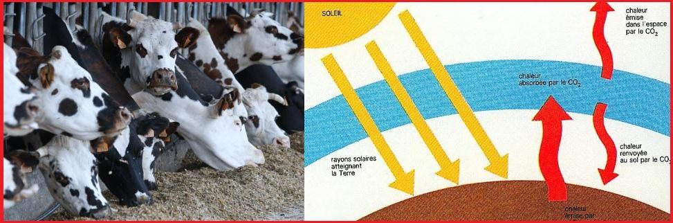 Nos vaches émettent autant de gaz que 15 millions de voitures