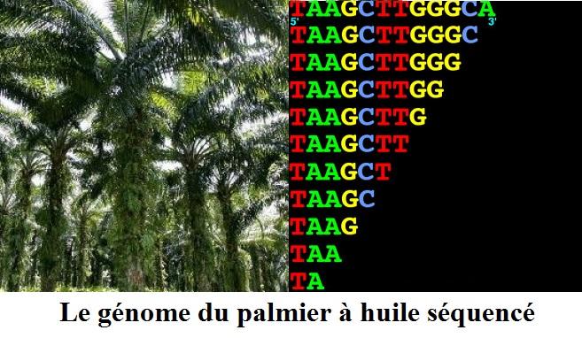 Le génome du palmier à huile séquencé