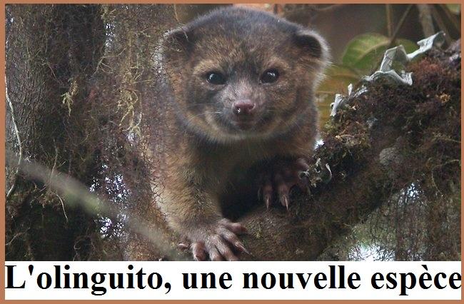 L'olinguito, une nouvelle espèce