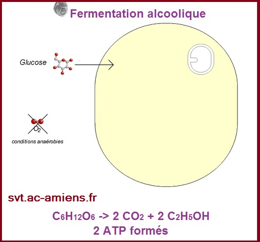 animation fermentation alcoolique Bac S SVT spé