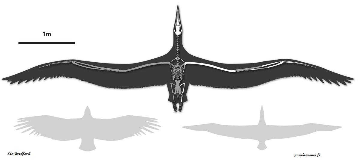 Comment volait le plus grand oiseau ayant existé ?