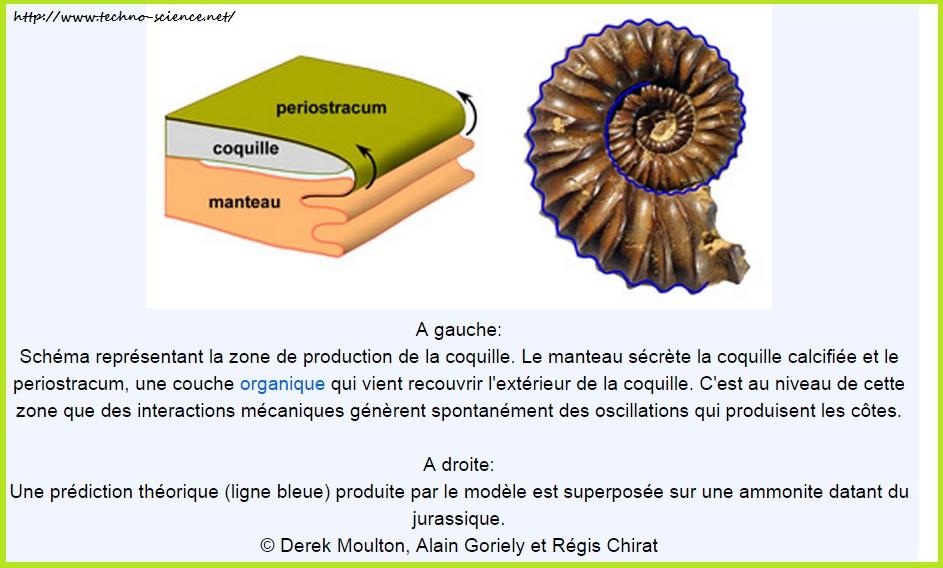 La forme des coquilles d'ammonites expliquée par la physique