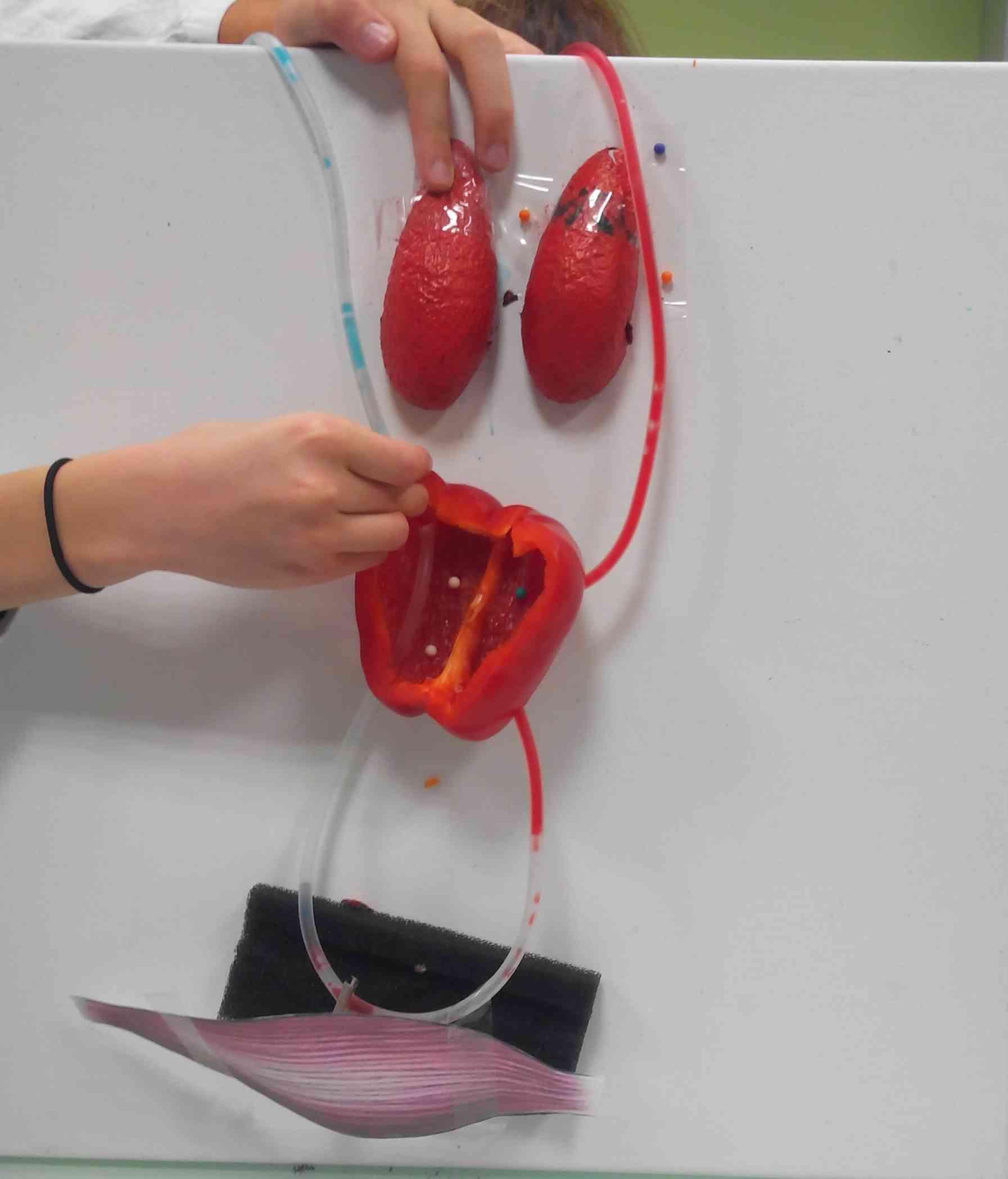 Modélisation de la circulation sanguine SVT (3)