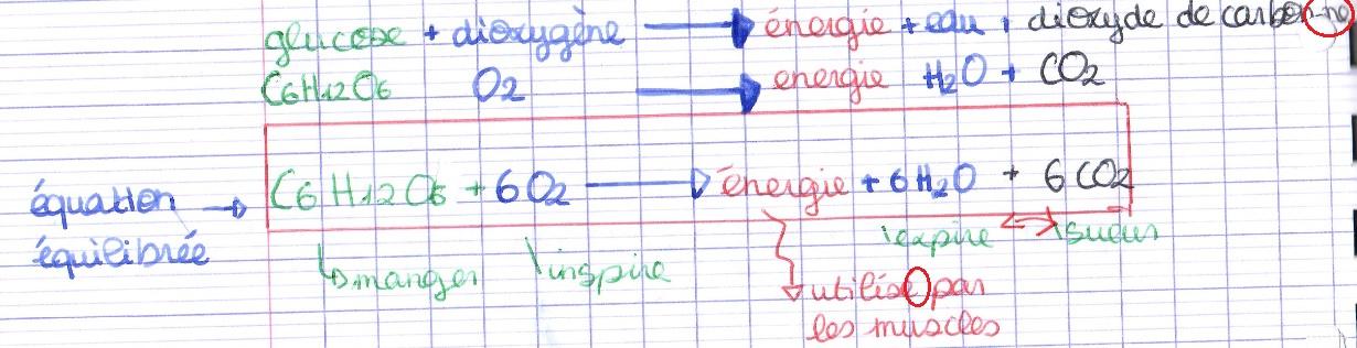 respiration cellulaire équation