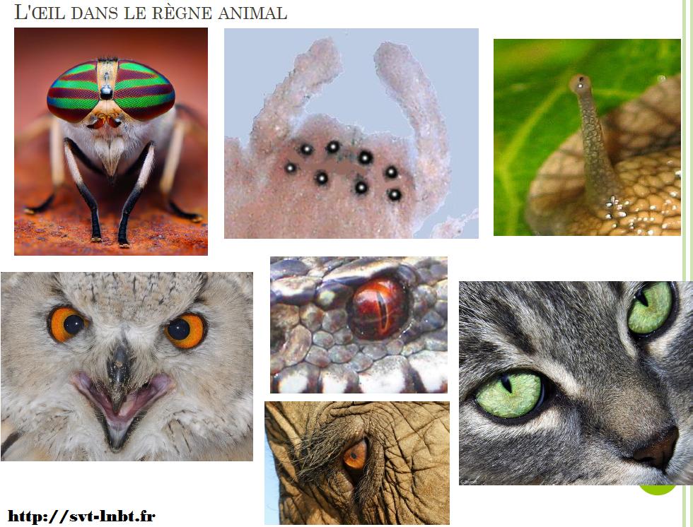oeil dans le règne animal