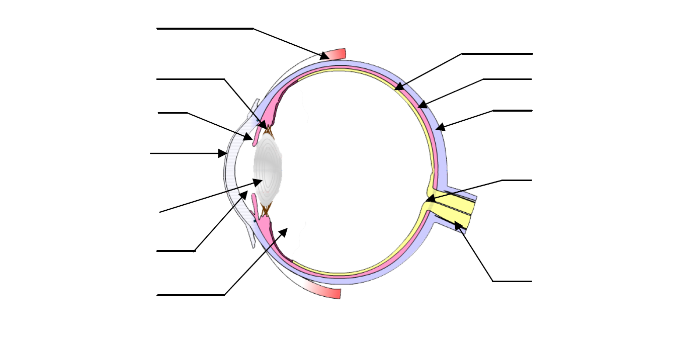 schéma d'un oeil à légender 1ère S