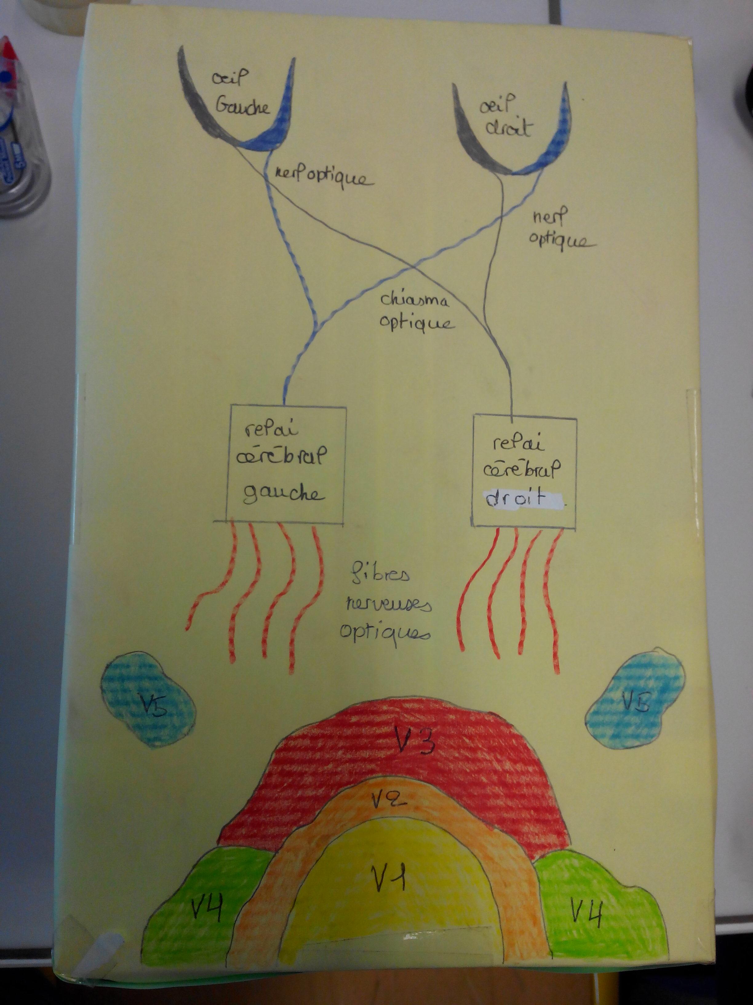 modelisation-des-voies-visuelles-et-des-aires-visuelles-svt-1ere-1