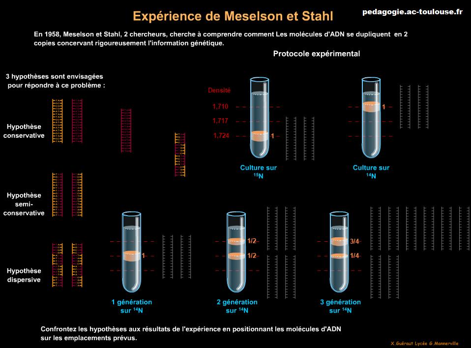 expériences de Meselson et Stahl
