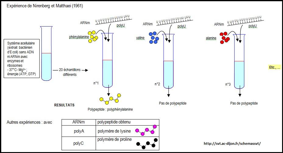 expérience Matthaéi Nirenberg SVT protéine ARN ADN