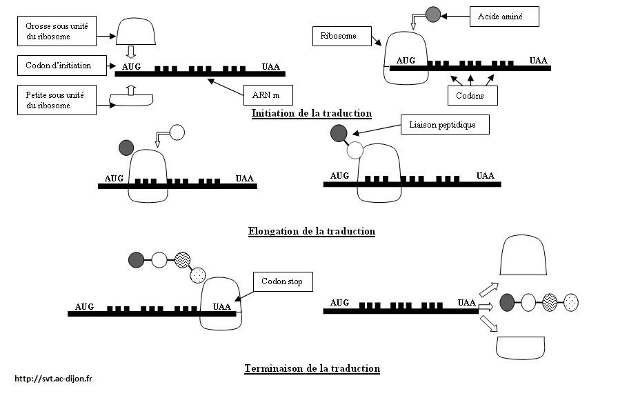 traduction protéine SVT 1ère S