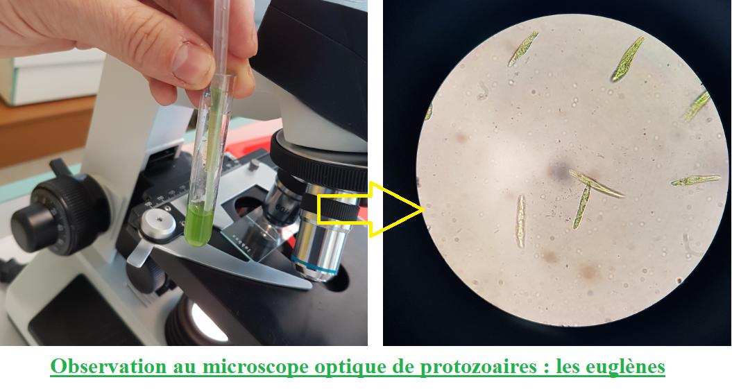 L'organisme pluricellulaire, un ensemble de cellules spécialisées