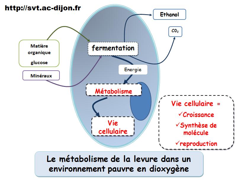 Le métabolisme des cellules