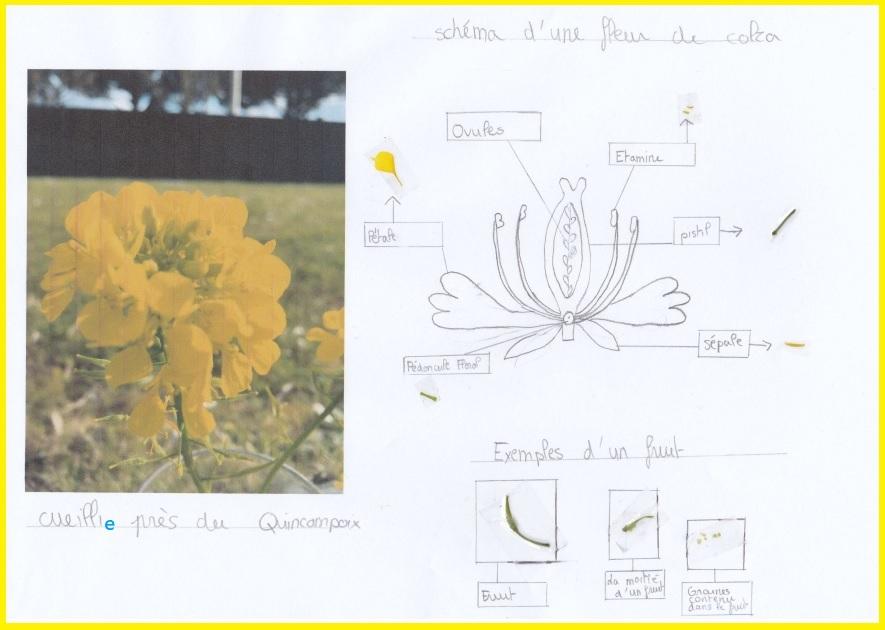 TP à la maison : dissection de fleurs