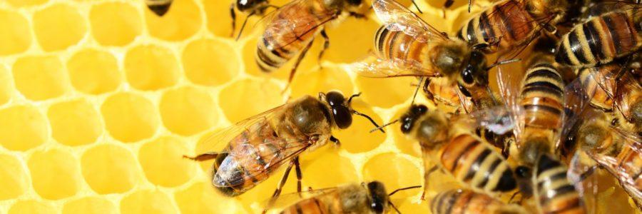 Des abeilles bientôt vaccinées ?